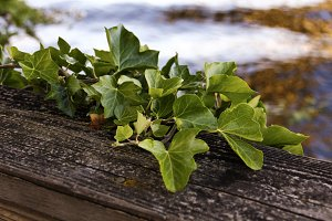 Ivy on Wooden Fence