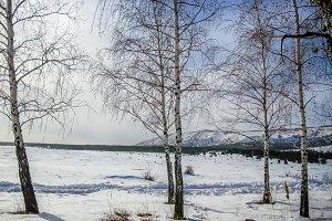 Winter landscape birches mountain