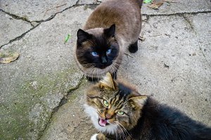 Siamese and ratter cats