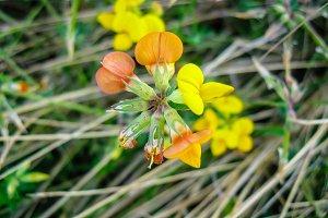 Wild peas yellow red flower