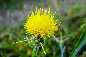 Thorn yellow flower