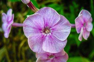 Phlox pink flower