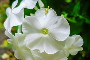 Phlox white flower spider insect