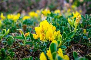 Wild Peas Yellow Flower