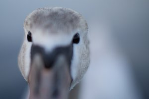 Cygnet, young swan