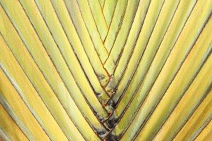 Travelers Palm Tree