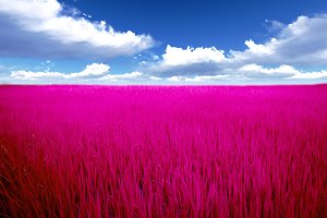 pink Meadow with cloud