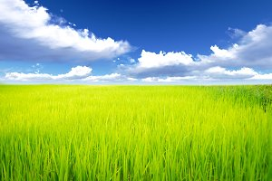 Rice meadow with cloud and blue sky