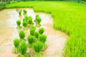 rice agriculture in rice fields