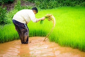 Farmer are cultivation in rice