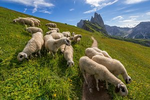 Sheep in Dolomites mountains