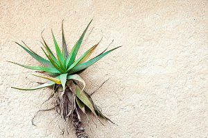 Tropical plant against concrete wall