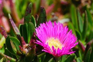 Pink flowers (Carpobrotus) closeup.