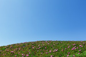 Pink flowers on hillside.