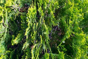 Thuja tree twids.