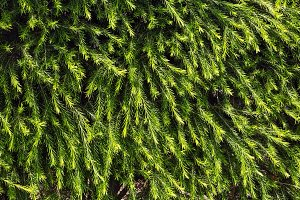 Green needles texture (background).