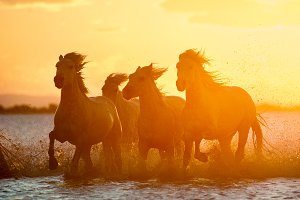 Camargue horses on sunrise