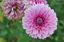 pink dahlia in garden