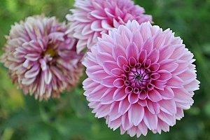 pink natural dahlia in garden