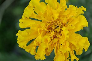 yellow tagetes flower