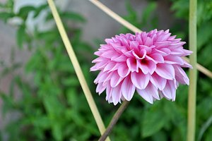 pink dahlia, other side