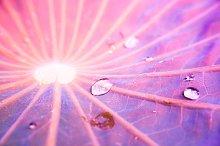 water drops on lotus leaf