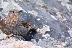 Blue rock thrush.