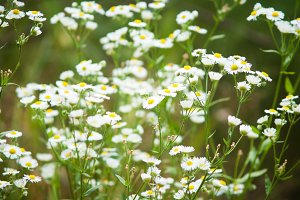 Blurred daisies background