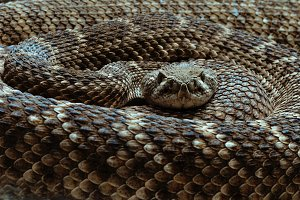 the rattlesnake curled up
