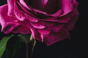 Rose dew