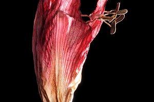 Dead Amaryllis Flower