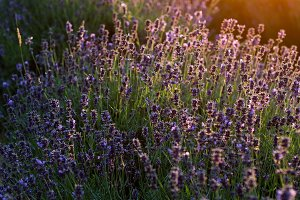 sunset on lavender fields