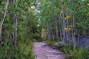 Beautiful Aspen grove trail