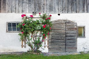 Old barn doors and red rose bush