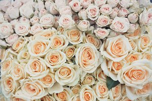 Light Roses in Soft Color
