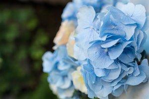 Blue Hydrangea flower close-up