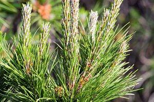 Pine twig closeup.
