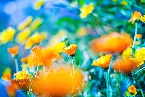 Abstract orange marigold flowers
