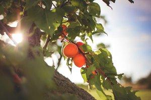 Apricot Tree Detail