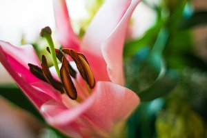 Pink Lily Detail