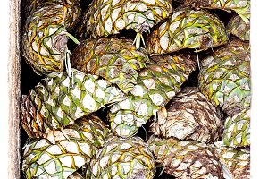 process of production of the tequila