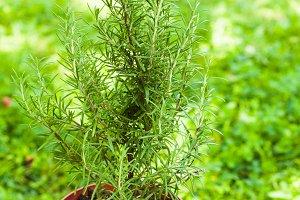 Rosemary bush close up