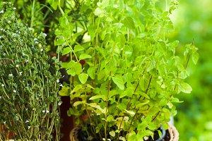 The Oregano bush