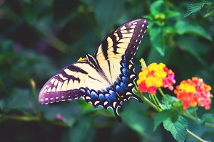 Female Eastern Swallowtail