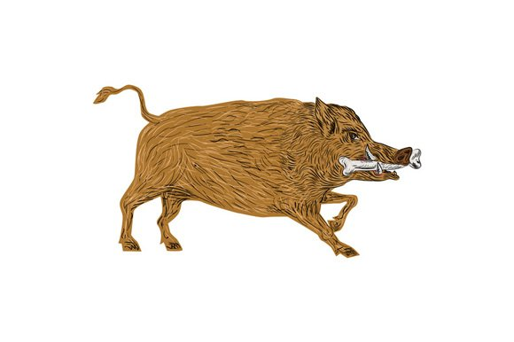 Wild Boar Razorback Bone In Mouth