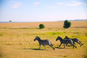 Three Zebra Running