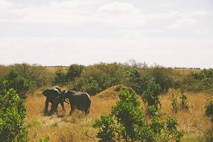 Two Elephants Playing