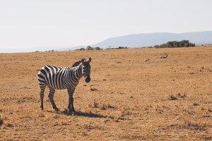 One Single Zebra