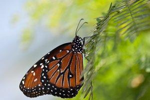 Queen Butterfly 3