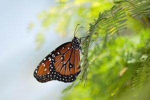 Queen Butterfly 2